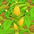 Corn 70
