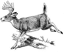 6-Deer jumping