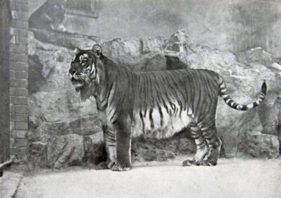 File:400px-Panthera tigris virgata.jpg