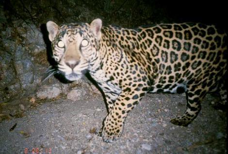 arizona jaguar | it's something wiki | fandom poweredwikia