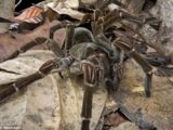 Papuan Giant Spider