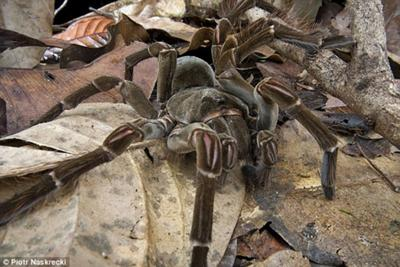 Papuan Giant Spider | It's Something Wiki | FANDOM powered