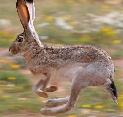 File:Jack rabbit.png