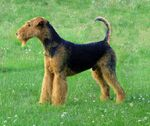 714px-Airedale-terrier-charles14m