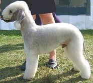 Bedlington terrier h04