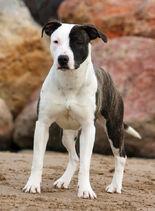 Staffordshire-bull-terrier 636ee10ad796c1fc839d4a25fe52d1aa