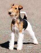 8621009-fox-terrier-dog-standing-ber-unscharfen-hintergrund