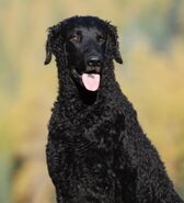 400px-CurlyCoatedRetriever1