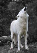 Tundra oder Polarwolf copy