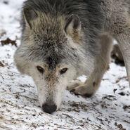 MC Timberwolf