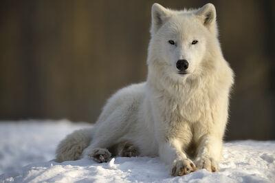 Image Oliver Krueger polarwolf klein-auheim