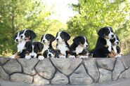 Greater-swiss-mountain-dogs-wallpaper