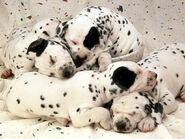 78-dalmatiner-hunde