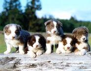 5bc puppies