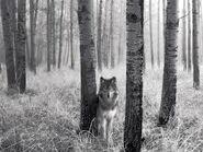 Wolf schwarz weiß