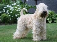 Irish soft coated wheaten terrier wheaten my love 20130331 1280592358