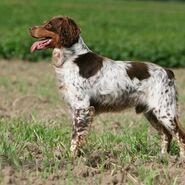 Hund-epagneul-breton-ft-dogs 18542629377