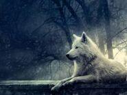 Wallpaper weißer wolf