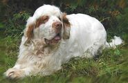 Clumber-spaniel-dog-on-the-grass-photo