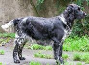Münsterländer-large-dog-in-the-forest-photo
