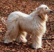 Afghanischer Windhound
