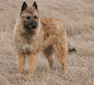 Fawn-belgian-shepherd-dog-laekenois-dog-wallpaper