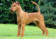 Irish terrier bild neu