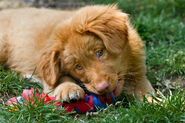 Nova-scotia-duck-tolling-retriever-2
