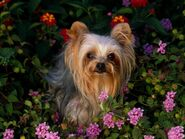 The-beautiful-Yorkie-yorkshire-terriers-13725156-1600-1200