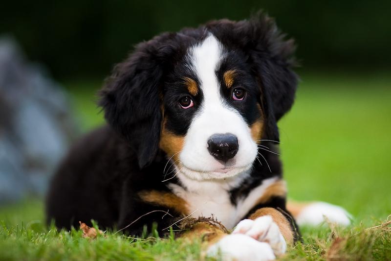 berner sennenhund jackys hunde wiki fandom powered by wikia. Black Bedroom Furniture Sets. Home Design Ideas