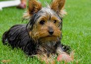 Yorkie-dog1