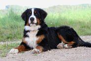 Berner-Sennenhund-2-a26889301