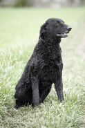 Sitting-curly-coated-retriever-photo