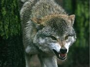 1183629013-tun-wenn-einem-wolf-begegne.9,c;2am;0;nD0;q0U;ioRLG