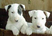 1351186071 english bull terrier puppies