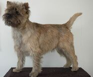 721px-Cairn Terrier - 003