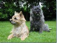 Cair terrier