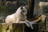 Polarwolf-1512