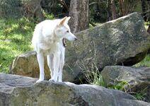 1024px-Rare shot of white dingo