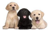 Labrador-Welpen-erkunden-die-Welt