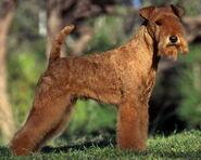 Lakeland-Terrier