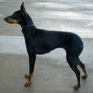 English Toy Terrier 600 01