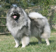 654px-Keeshond Majic standing cropped
