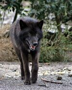 250px-Timberwolf-6033