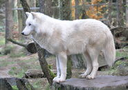 800px-Canis lupus arctos qtl1