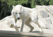 Polarwolf05