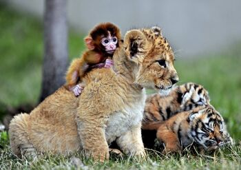 Bubba the Tiger As A Cub Playing With His Friend Max The Monkey 101