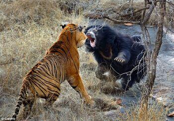 Bubba The Tiger vs. A Bear 101