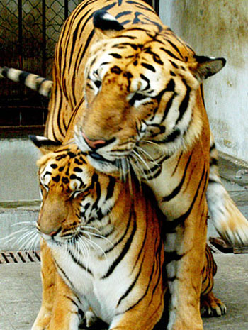 Bubba Th Tiger With His Wife Mya The Tiger 101