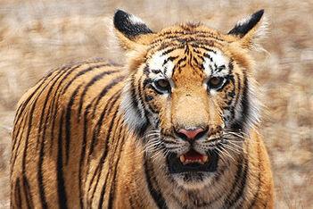 Bubba The Tiger 101